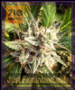 710 Genetics Lemonheads Fem 5 Marijuana Seeds